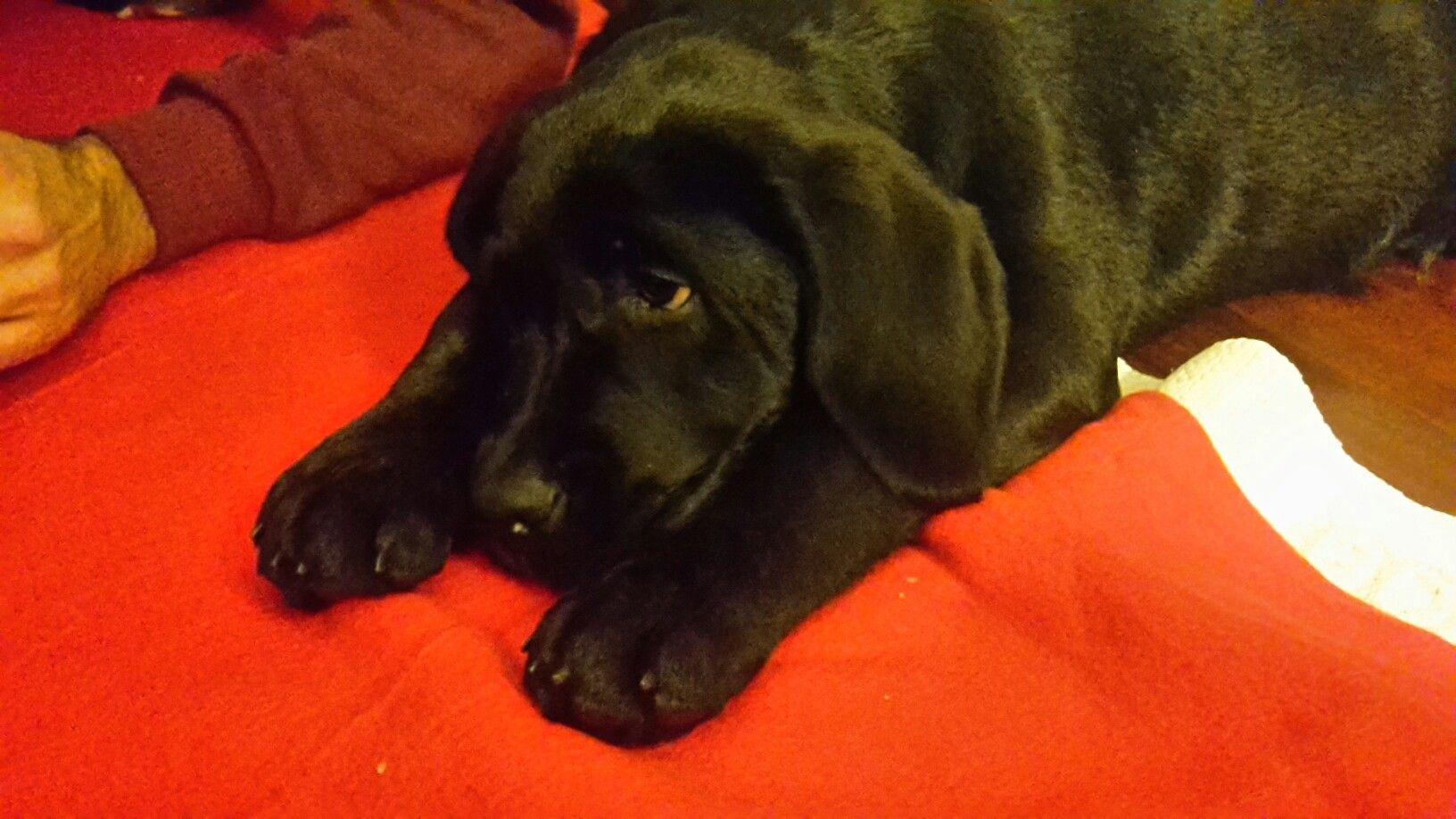 # il mio cucciolo di labrador #benvenuto Buio#