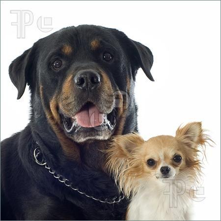 Rottweiler And Chihuahua Two Of My Fave Breeds Purebred Rottweiler Rottweiler Chihuahua