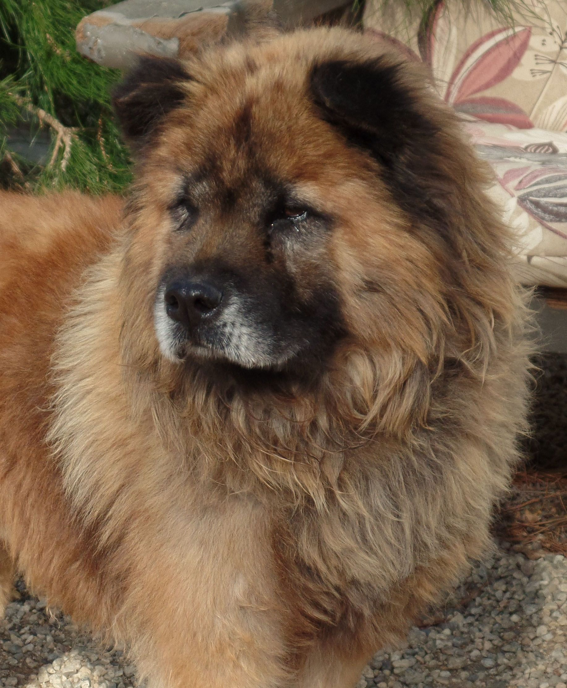 Chow Chow Dog For Adoption In Ventura Ca Adn 425589 On