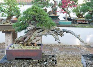Visit To Hans Weh Bonsai Tree Bonsai Plants