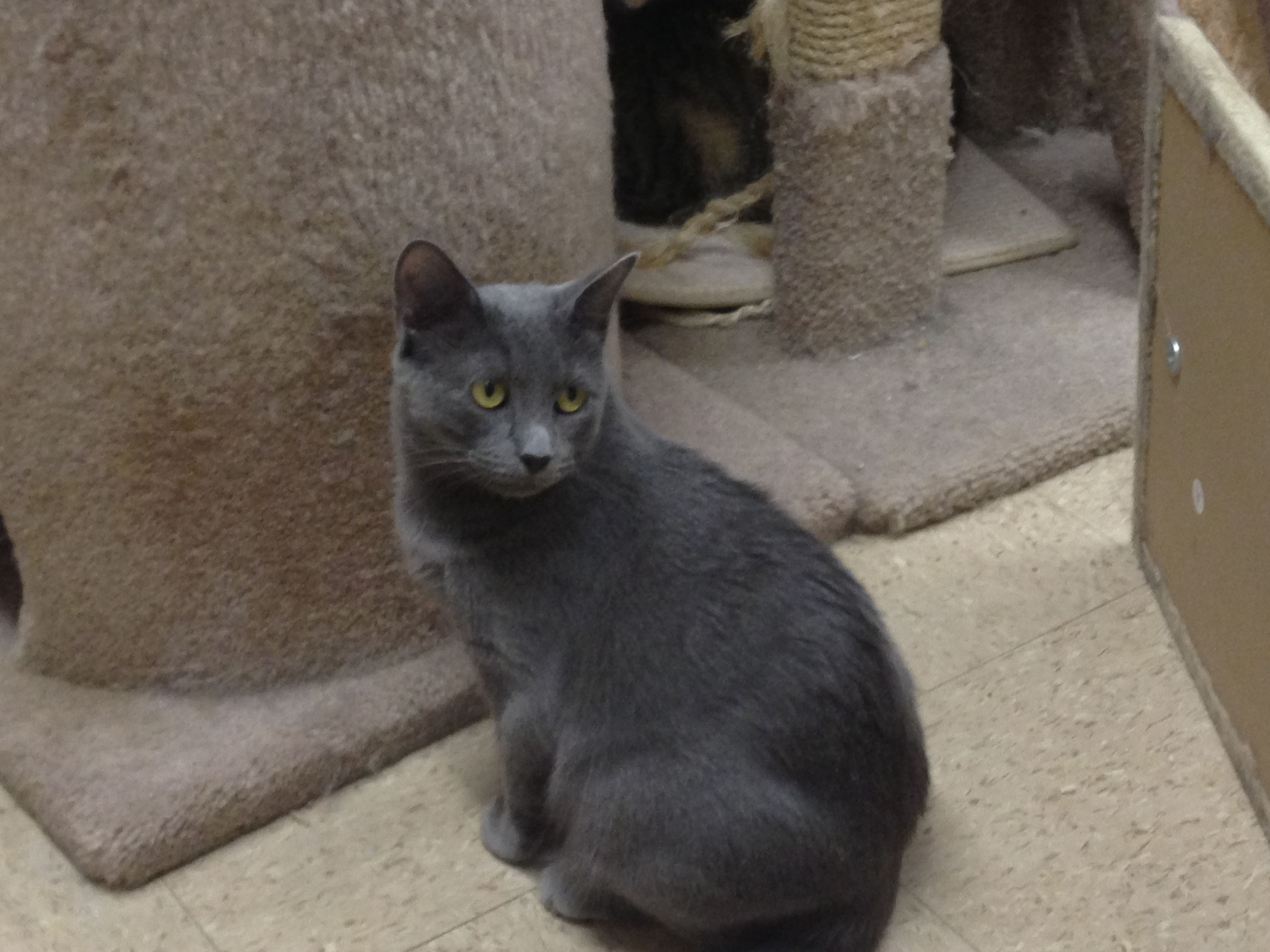 Anastasia sweet little Russian Blue Animal Rescue