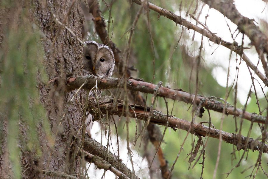 Ural owl spotted