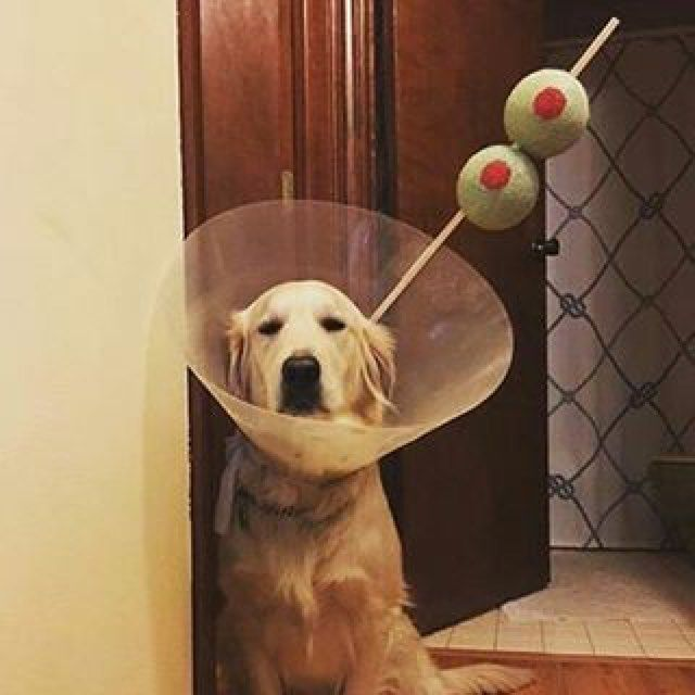 Cone Of Shame Cocktail Dog Halloween Costume With Images Dog