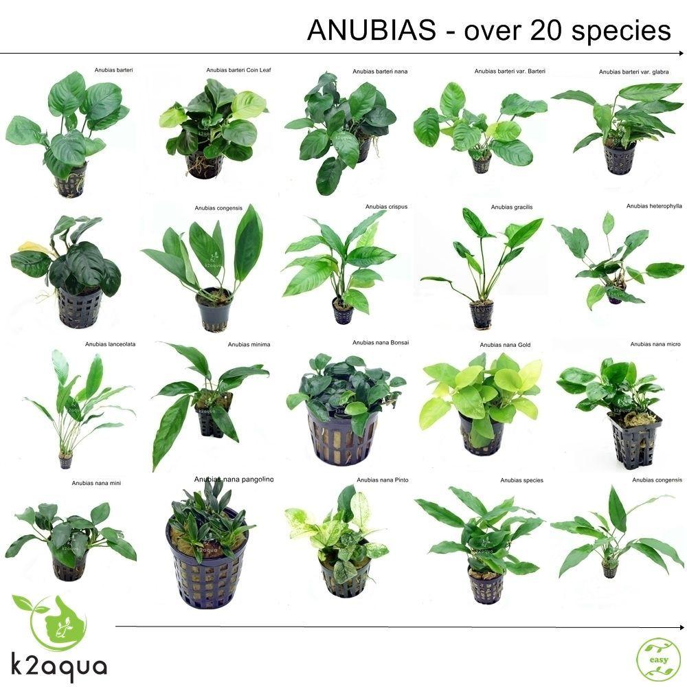 Aquarium landscaping decoration easy grow Aquatic plant seeds Anubias Barteri