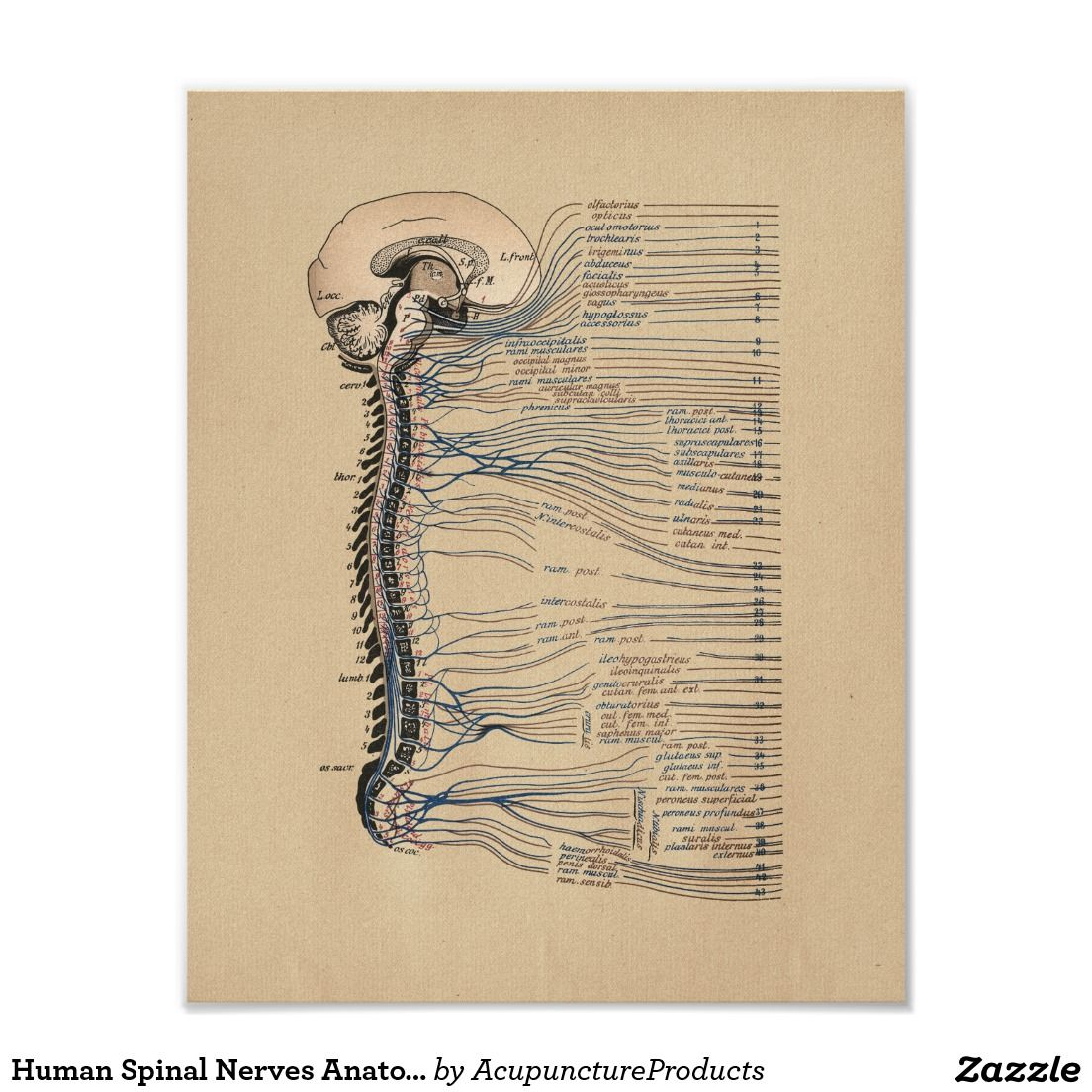 Human spinal nerves anatomy vintage print nerve anatomy spinal human spinal nerves anatomy vintage print pooptronica Images