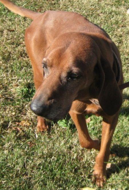 Adopt Duke On Dog Friends Dog Adoption Coonhound