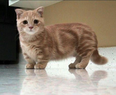 Munchkin cat. Mother of God, I must have one!