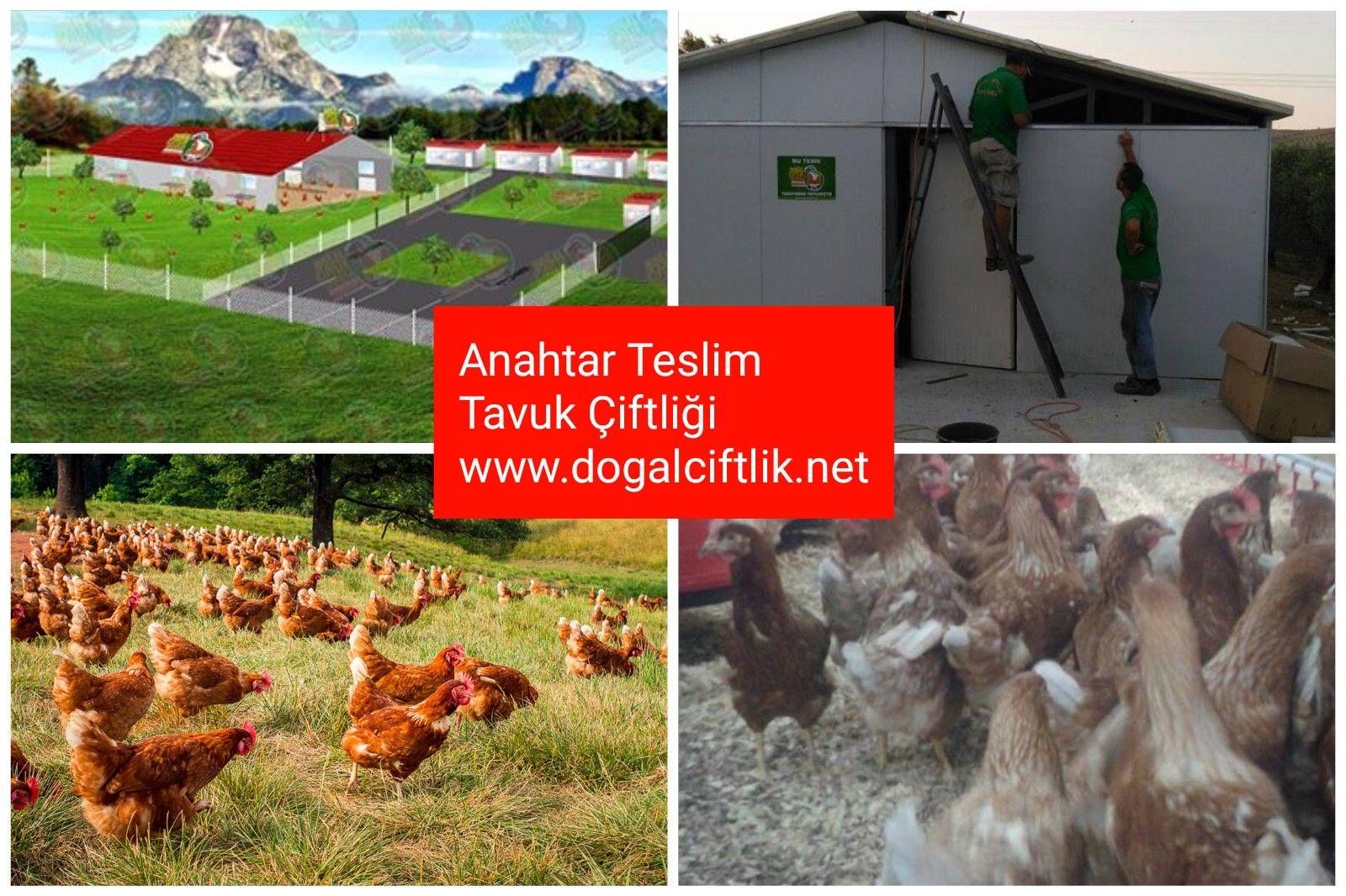 Anahtar Teslim Yumurta çiftliği Fiyatları Organik Yumurta üretimi