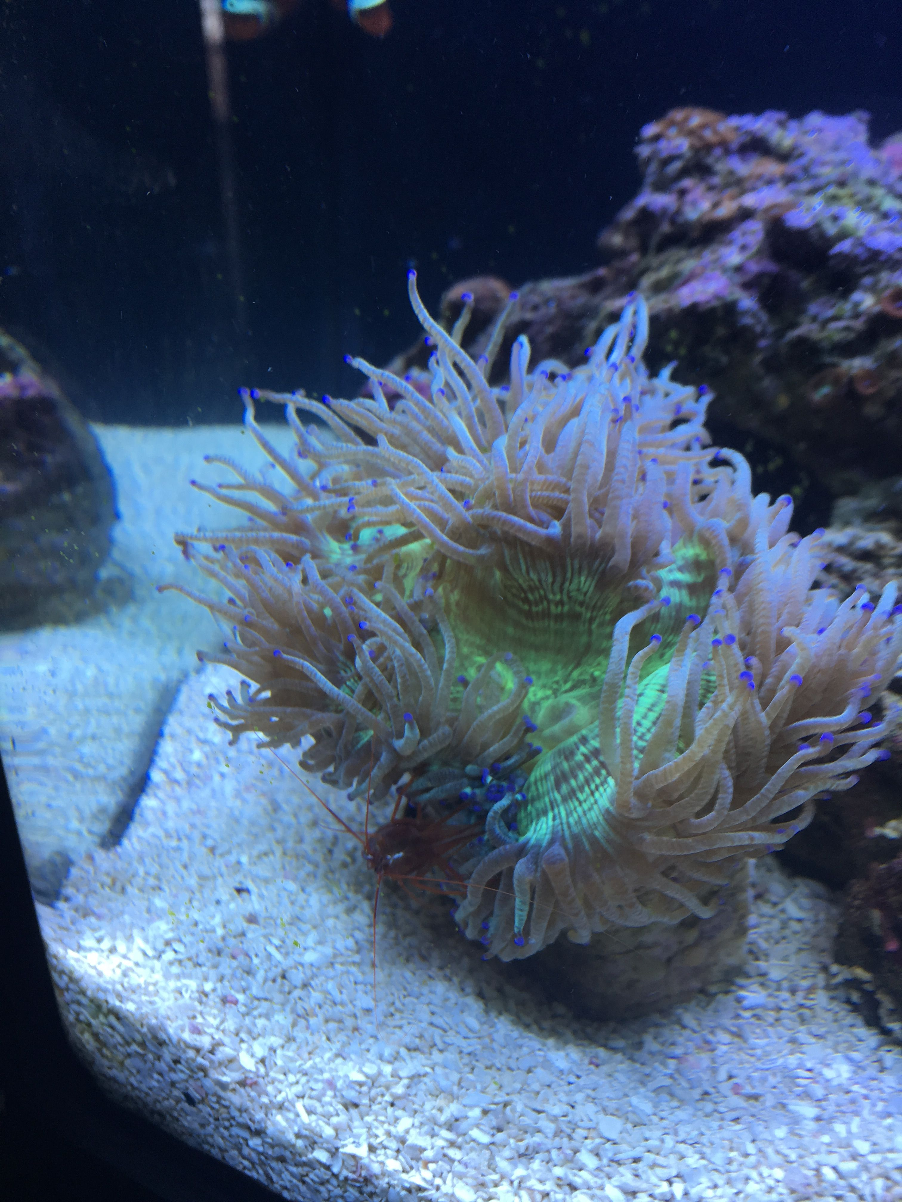Purple Tipped Elegance Coral Added To My Nano Reef On 3 19 17 Nano Reef Tank Reef Tank Reef