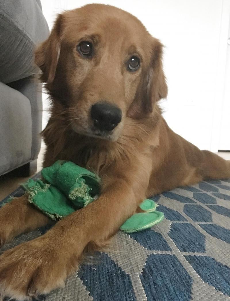 Adopt Gabo On Golden Retriever Rescue Dogs Golden Retriever Dogs