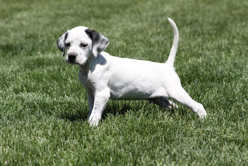 English Pointer Dog Photo Enlgish Pointer Puppies For Sale