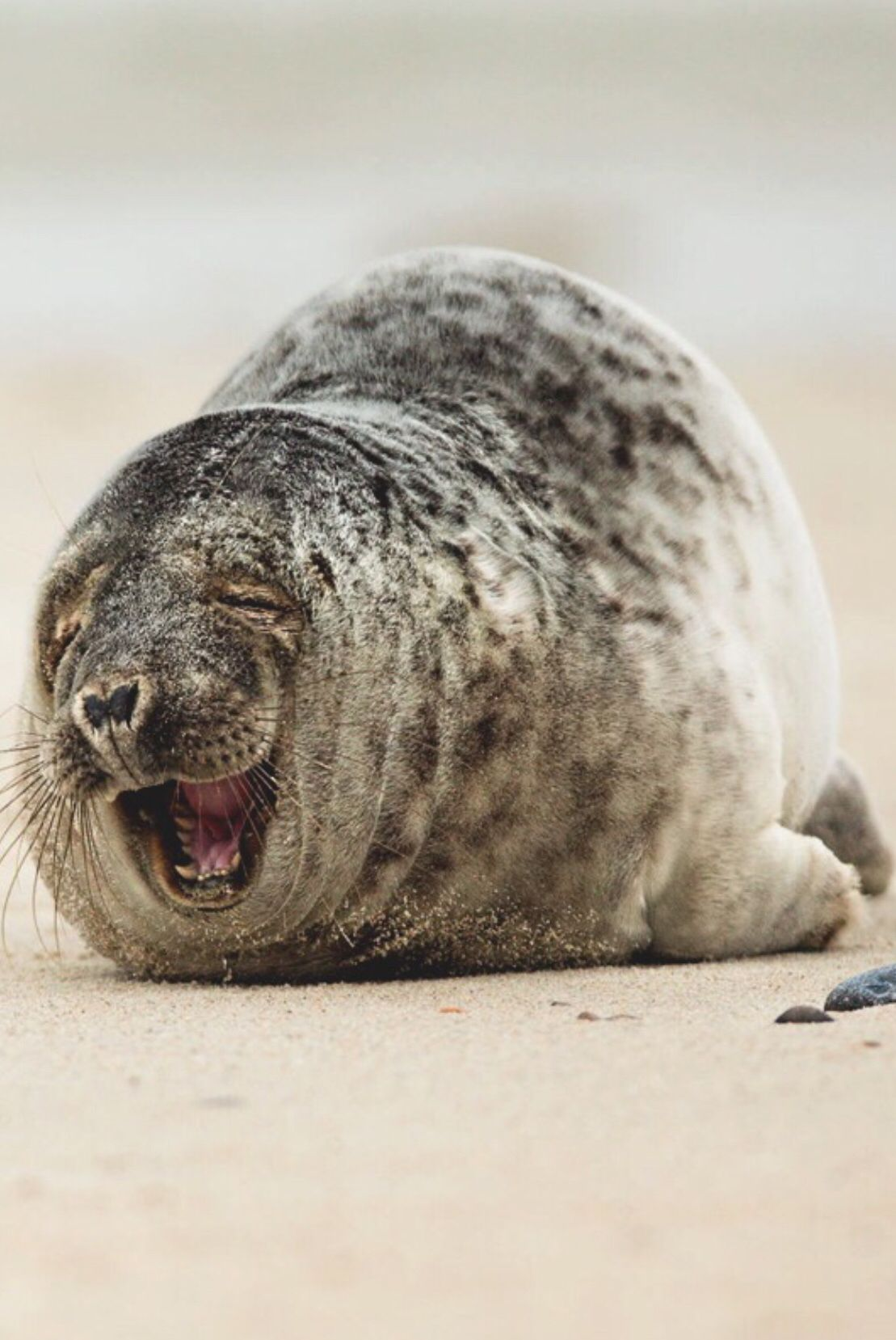 Laughing Seal | The Lens ... | Pinterest | Animals, Nature ... - photo#39