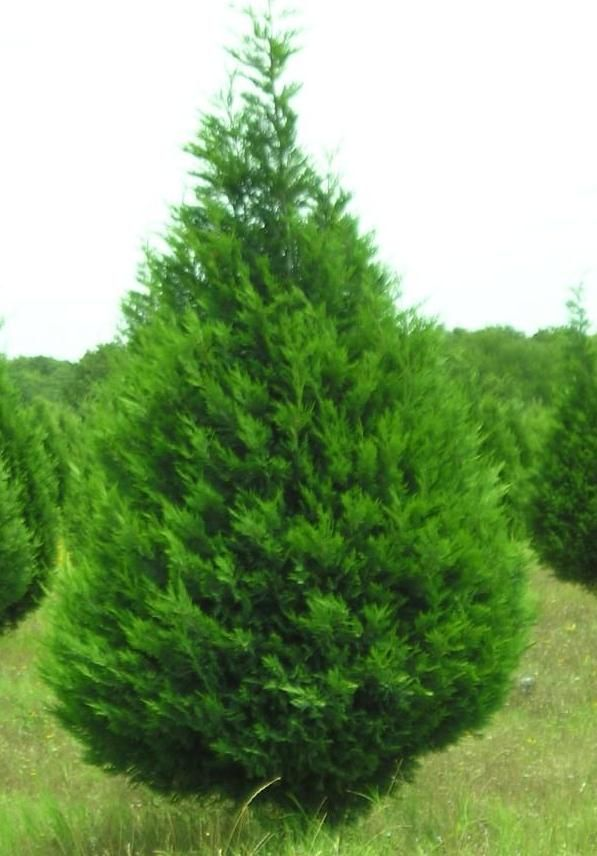 Christmas Tree Information Christmas Tree Farm Tree Farms Christmas Tree