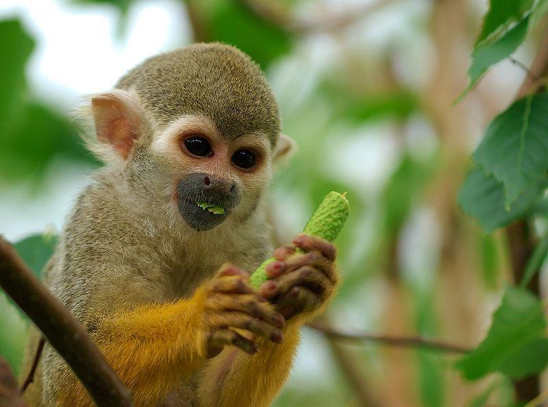 Common squirrel monkey File:Saimiri sciureus-1 Luc Viatour.jpg