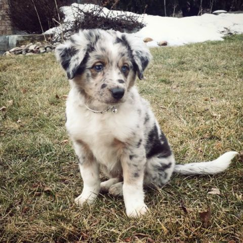 Gorgeous Australian Shepherd Puppies Beautiful Markings Dogs