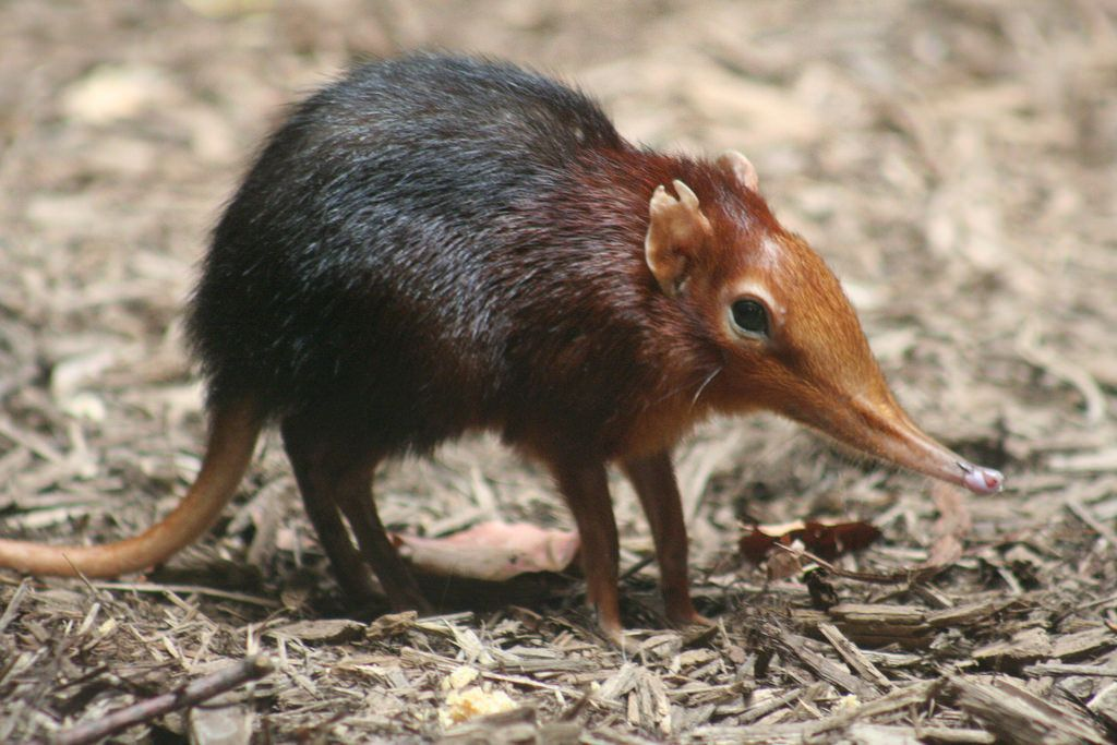 Image Result For Shrew Meaning Silly Animals Elephant Shrew Rare Animals