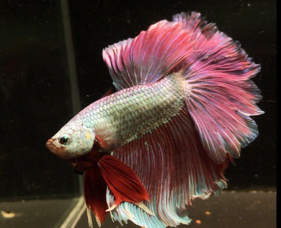 Fancy Betta Splendens Hm Assorted Tropical Live Fish Siamese X1 Betta Betta Fish Live Fish