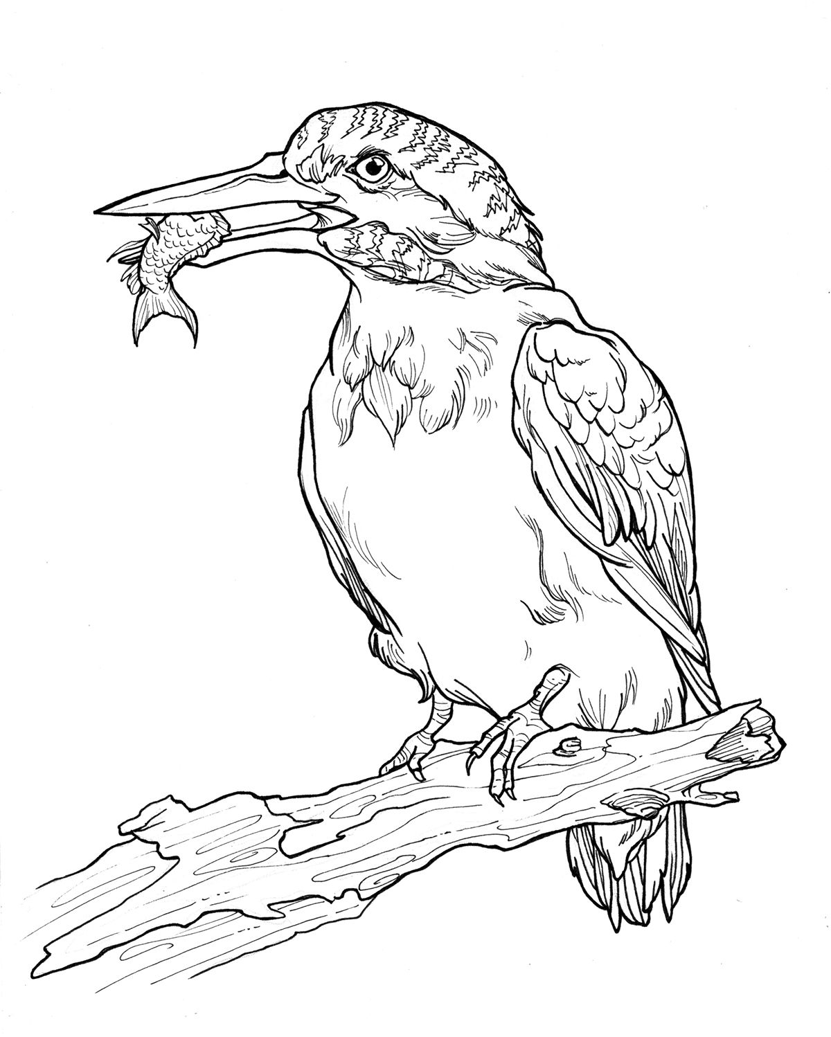 A Selection Of My Illustrations For Geneva Wilsons Bahamas Birds Coloring Book Which Features 38