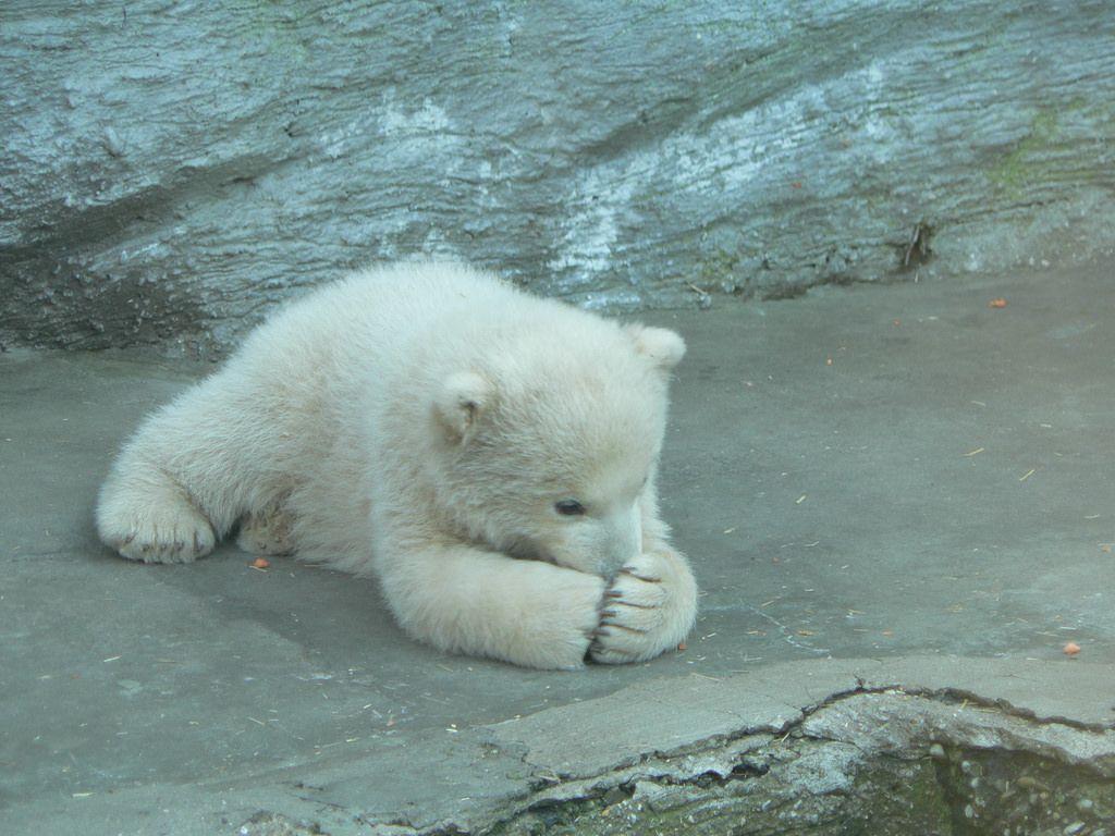 If I Hide My Nose Nobody Can See Me Baby Polar Bears Polar Bear Facts Cute Polar Bear