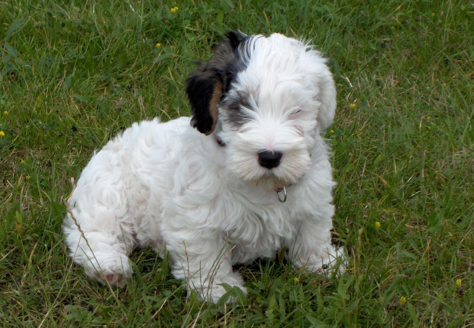 Sealyham Terrier Oscar Terrier