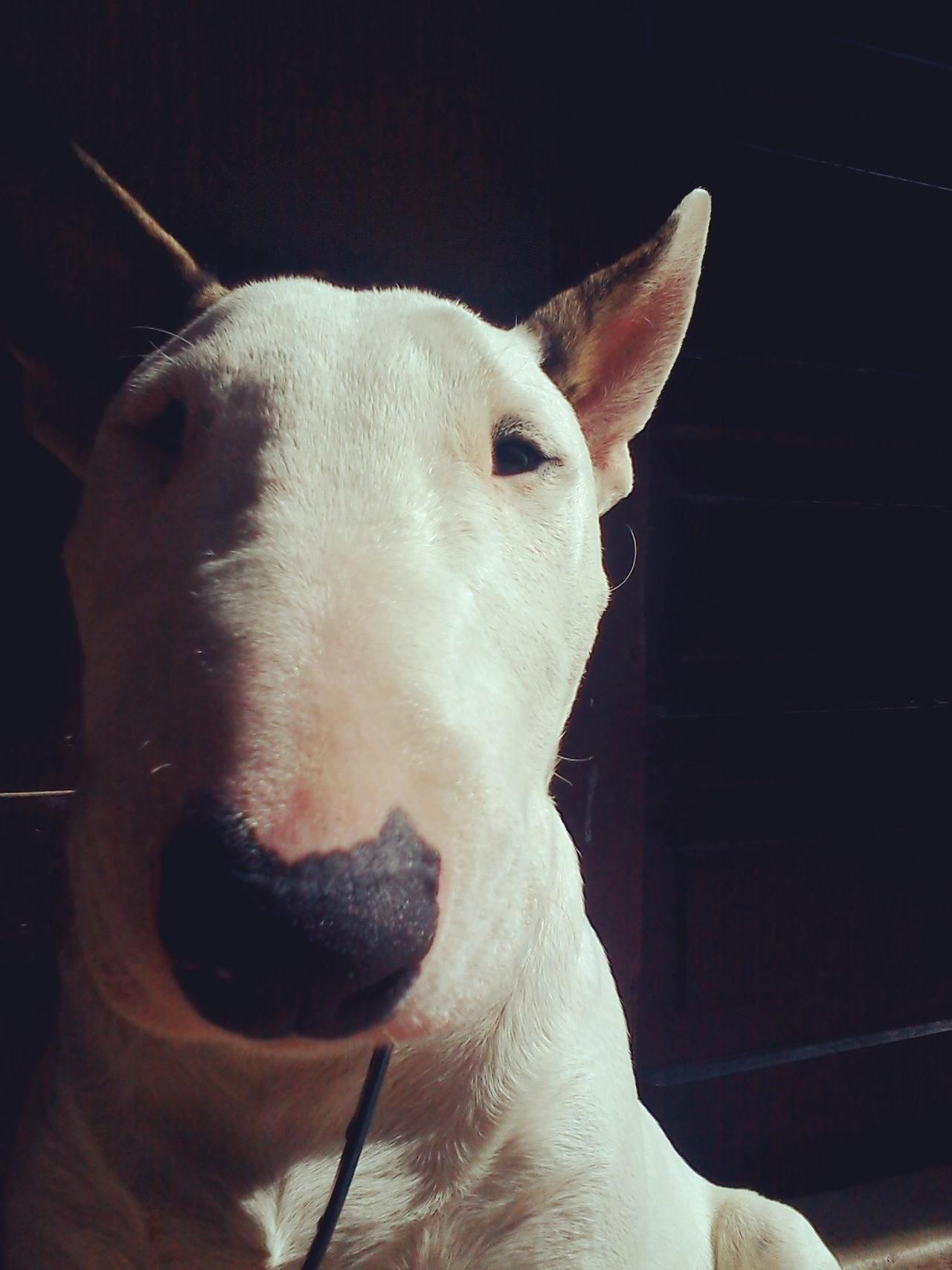 Bull Terrier #Dogs #Puppy