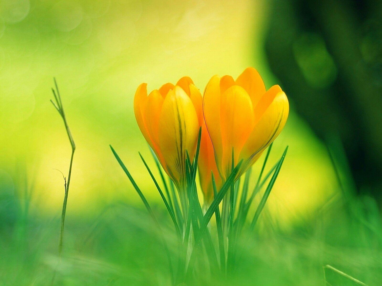 Yellow Crocuses Flowers Pinterest Yellow Crocus Flowers And