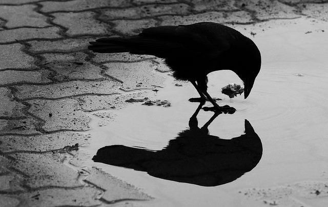Crows Ravens Reflection Corbeau Dessin Dessin Noir Et Blanc