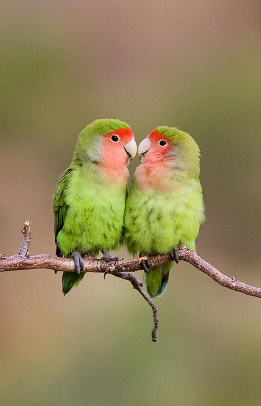 Rosy Faced Lovebirds By Ian Merrill Birding Tours Africa Love Birds Pet Cute Birds Pet Birds