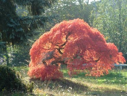 Laceleaf Japanese Maple Is Officially Know As The Acer Palmatum Var