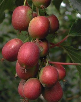 Red//Purple Kiwi Seeds Rare Fruit Seeds Actinidia melanandra USA SELLER