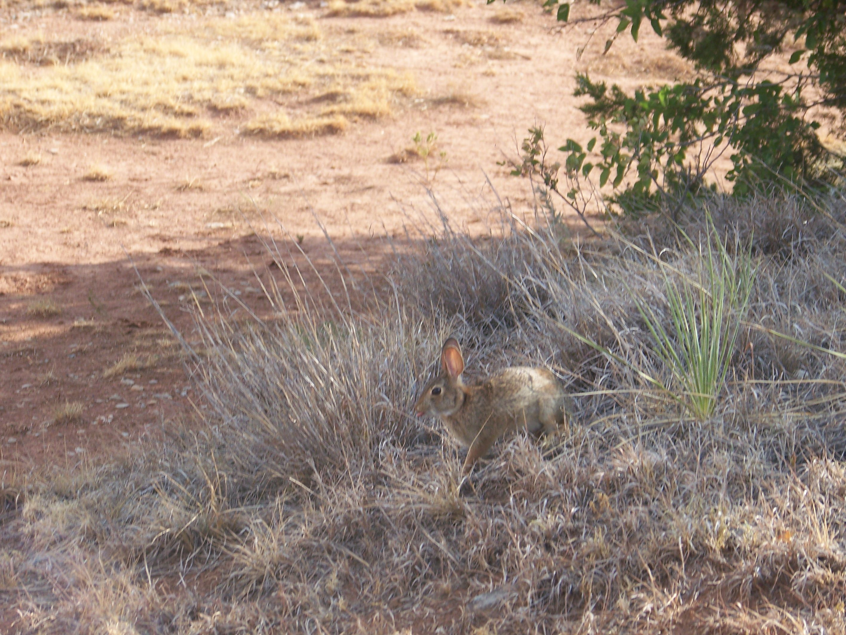 This hare was really casual about me being around him.  I think he just didn't want to give up his shady spot!  Taken at the top of the Gloss Mountains.