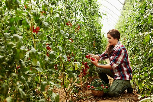 Worker Harvesting Tomatoes At Organic Farm With Images 400 x 300