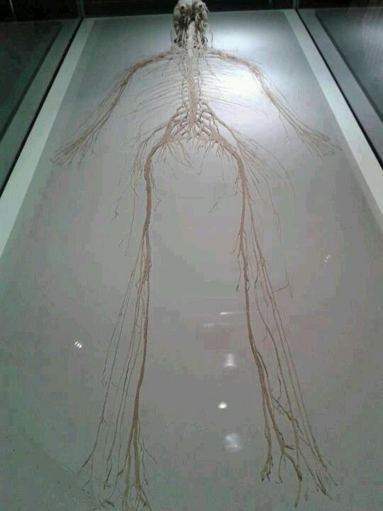 human nervous system divided into two main parts: the peripheral, Muscles