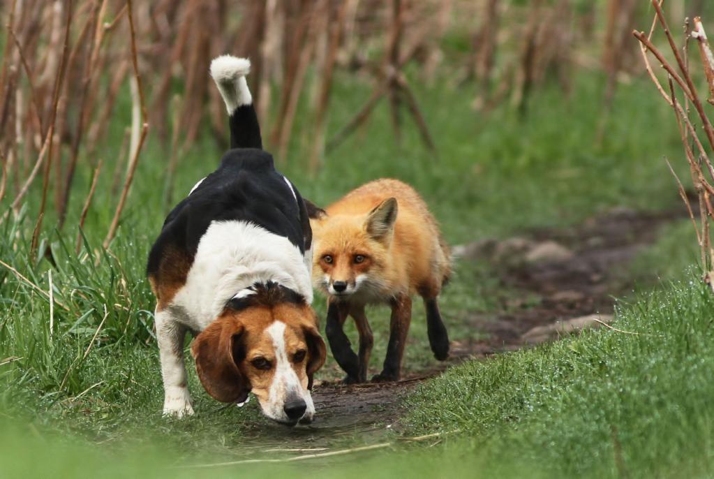 Hunting Dog Hunting Fox Funny Animal Photos Animals Funny