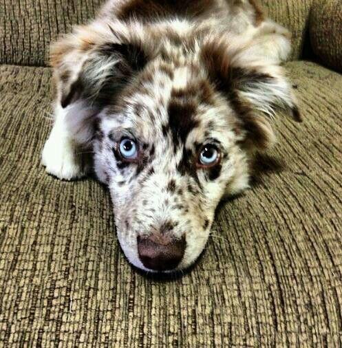 Mini Australian Shepherd Dog Breeds Aussie Dogs Puppies