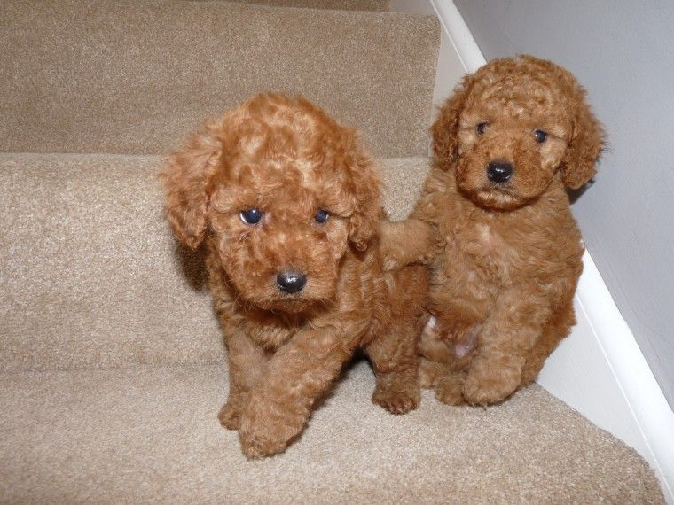 RED F1b Cockapoo Puppies Derby, Derbyshire Pets4Homes