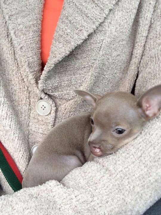 Same Colour As Lucy Only Lucy Has Amber Eyes Cute Chihuahua