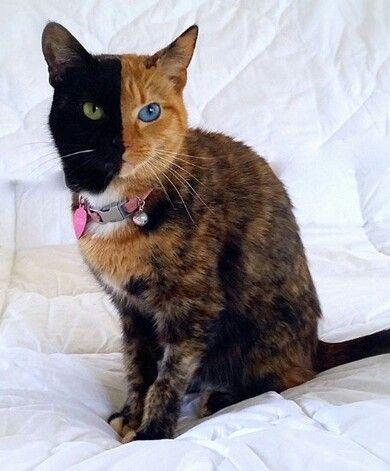 Este gato OhMyGod, el gato quimera de verdad es una Anomalía ◕。◕