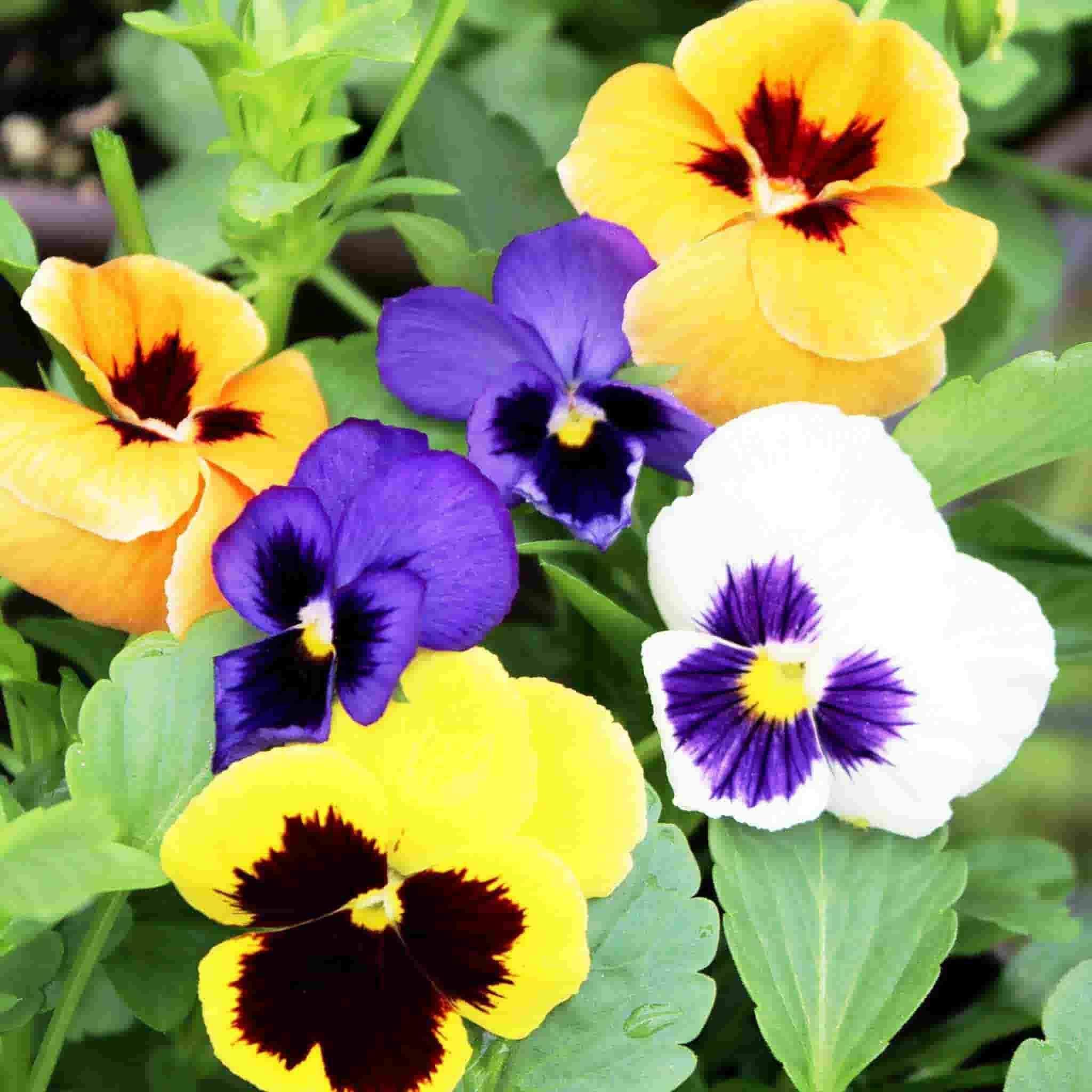 Pansy Seeds Swiss Giants Mixed Colors In 2020 Pansies Flowers Pansies Viola Flower