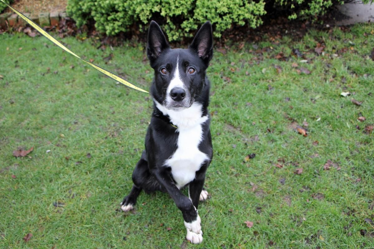 Adopt A Dog Patch Collie Cross Border Dogs Trust Dogs
