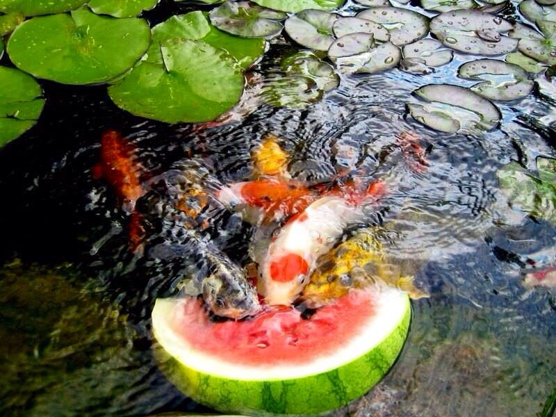 Koi fish eating watermelon photo from for Fish eat and grow