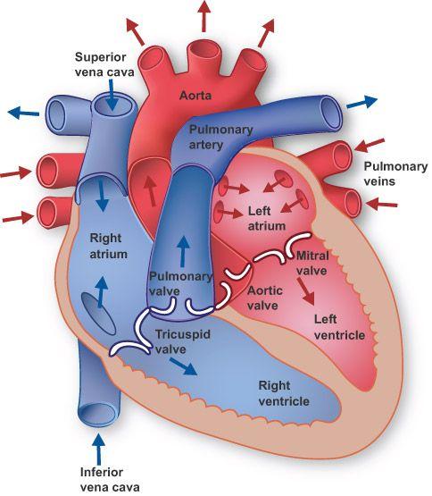 Human blood flow diagram student success pinterest heart human blood flow diagram ccuart Image collections