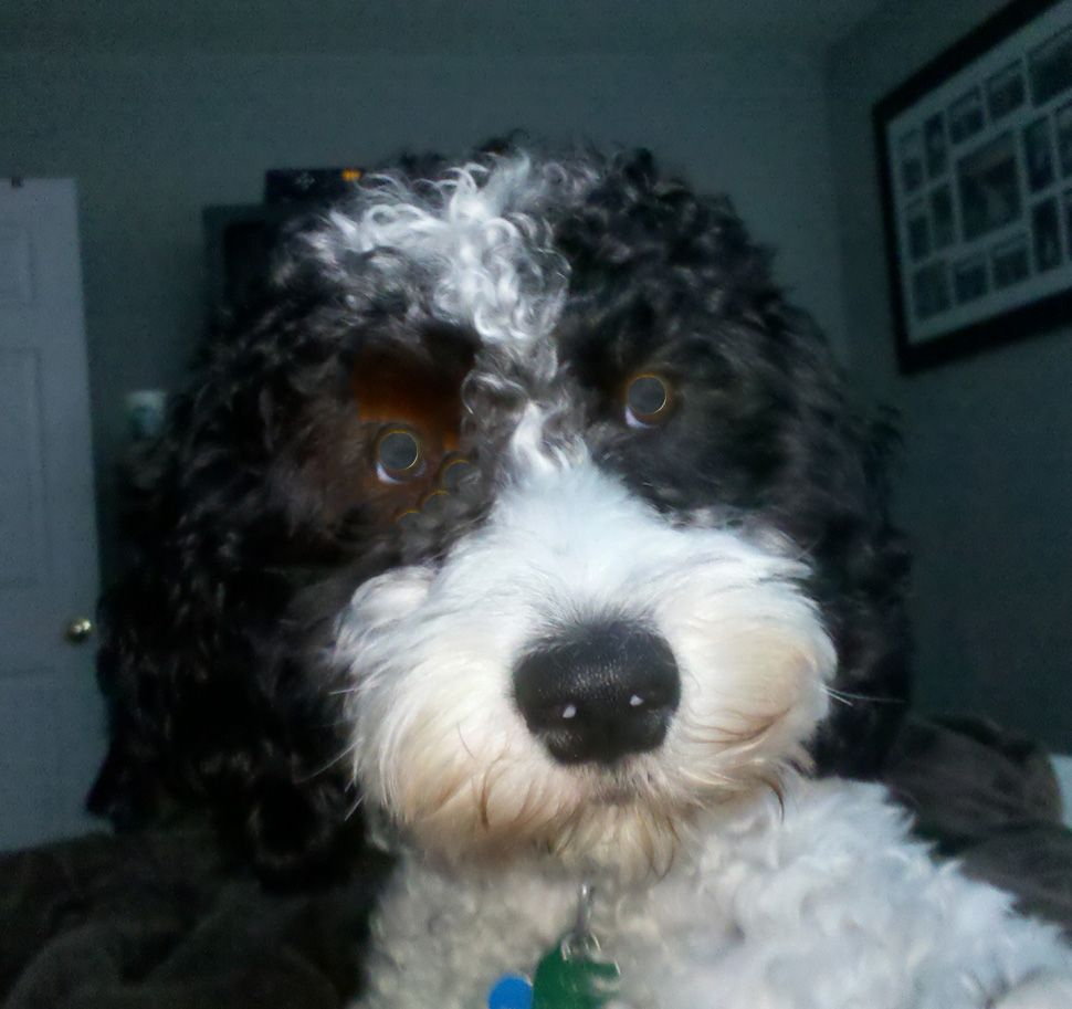 Sproodle Poodle Mix Poodle Mix Dogs Dog People