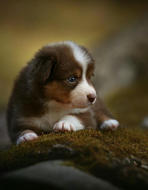 Pin Von Emily Lewis Auf Animals Mit Bildern Babyhunde Aussie
