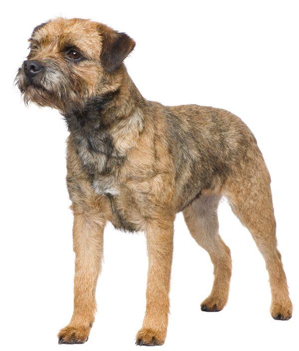 Border terrier Border terrier, Terrier dogs, Dog breeds