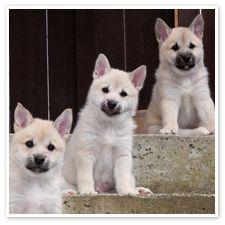 Norwegian Buhund Puppies Puppies Doggies Pinterest Puppies
