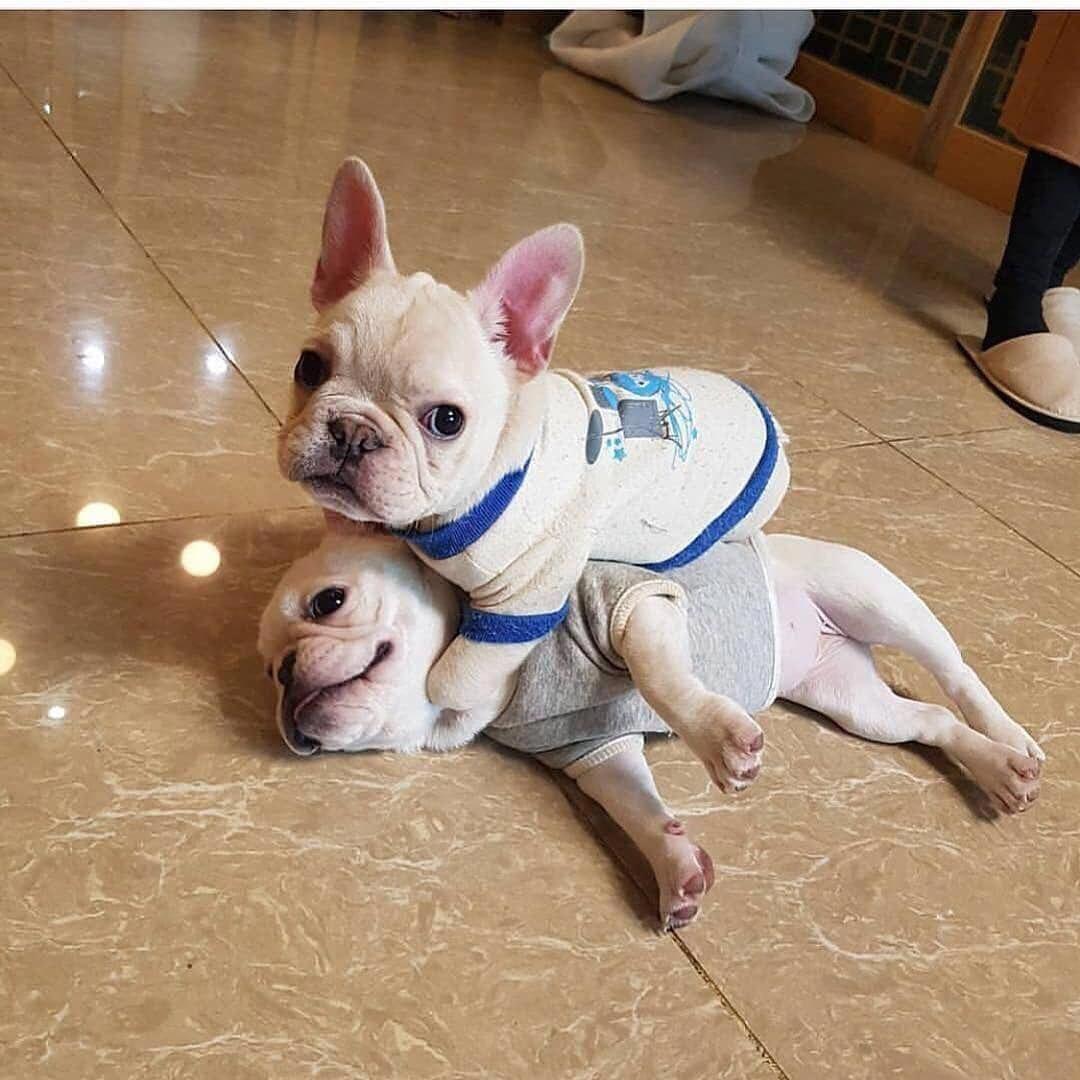 Roberthuddlestone French Bulldog Puppies