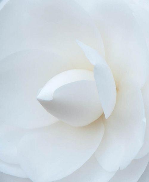 ♀ White flower Camillia