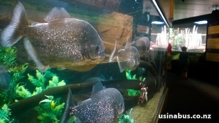 Piranhas!!!  At the Napier Aquarium. A fantastic family fun activity to do in our beautiful Aotearoa.