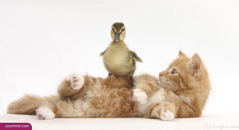 قطط ترقص يوتيوب العاب قطة شيرازية 2015 صور وخلفيات قطط قطة سيامي جميلة ترقص يوتيوب بيضاء شيرازية كيوت للبيع لم Baby Animals Pictures Cute Animals Baby Animals
